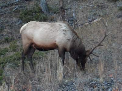 Bull Elk in RMNP